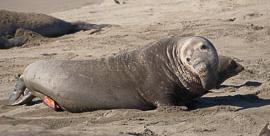 Seal Penis
